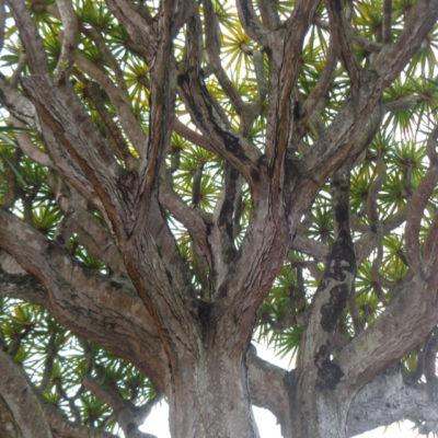 Árvore Histórica Quinta Conventinho - Ana Almeida